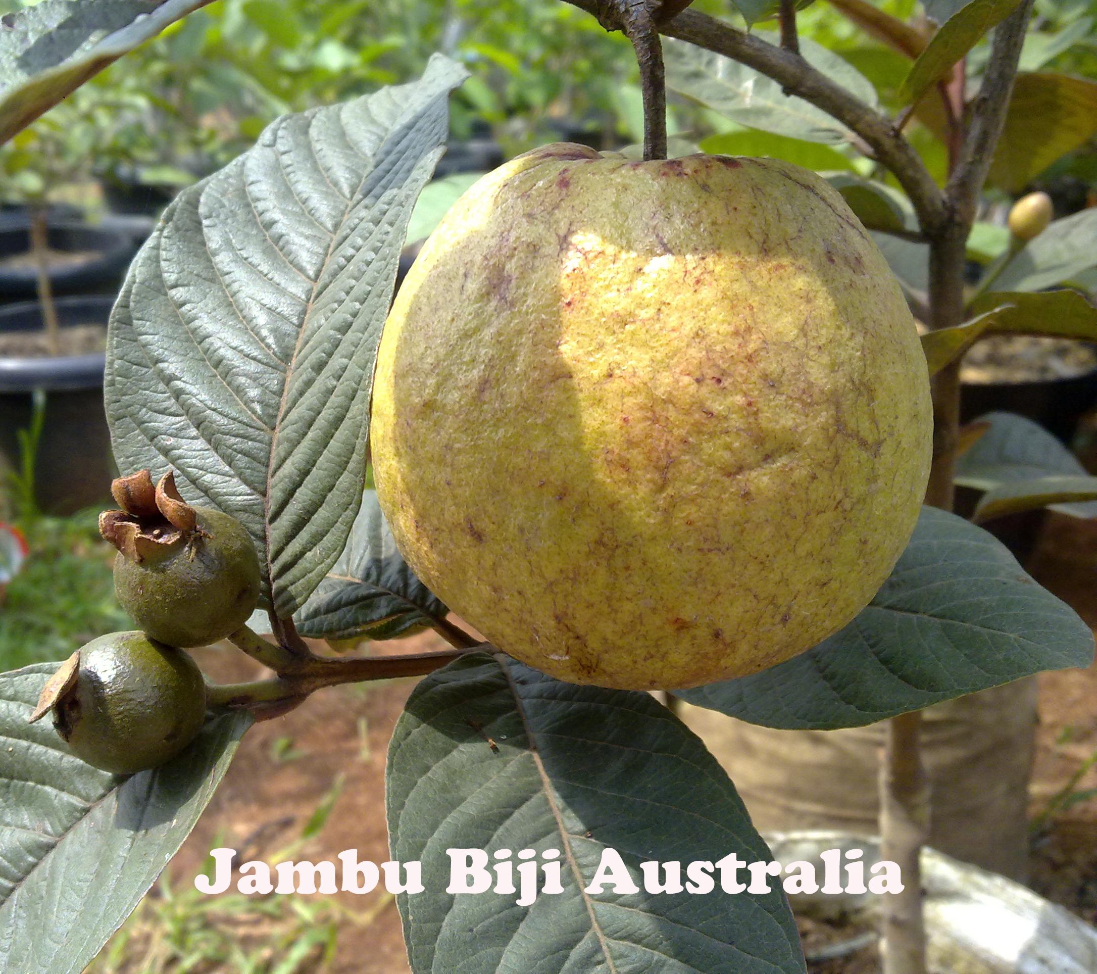 buah jambu biji australia