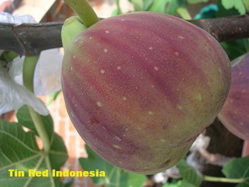 red indonesia - Jenis Buah Tin Yang Paling Manis