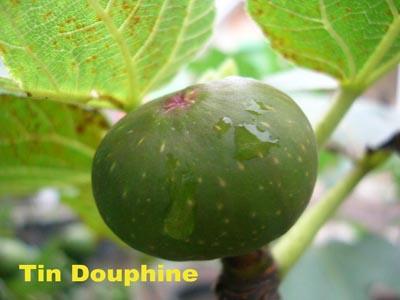 tin douphine
