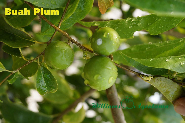 10 Manfaat buah plum bagi kesehatan, ampuh obati sembelit