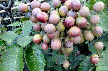 buah-matoa