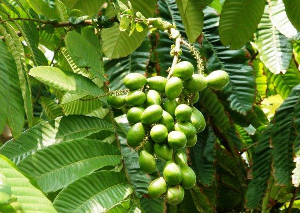 pohon-matoa-berbuah
